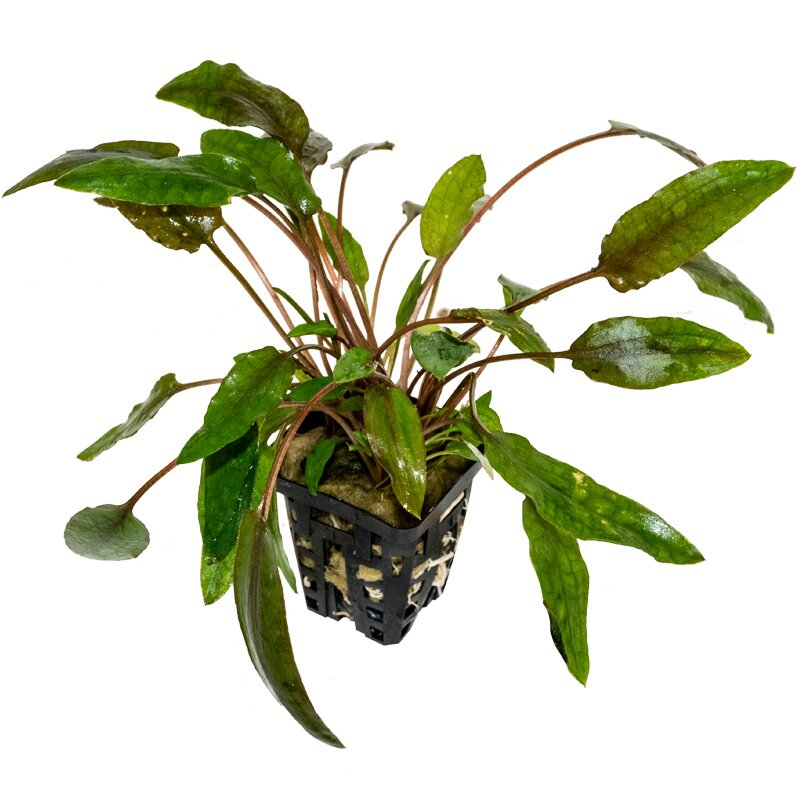 cryptocoryne species rot red wasserkelch