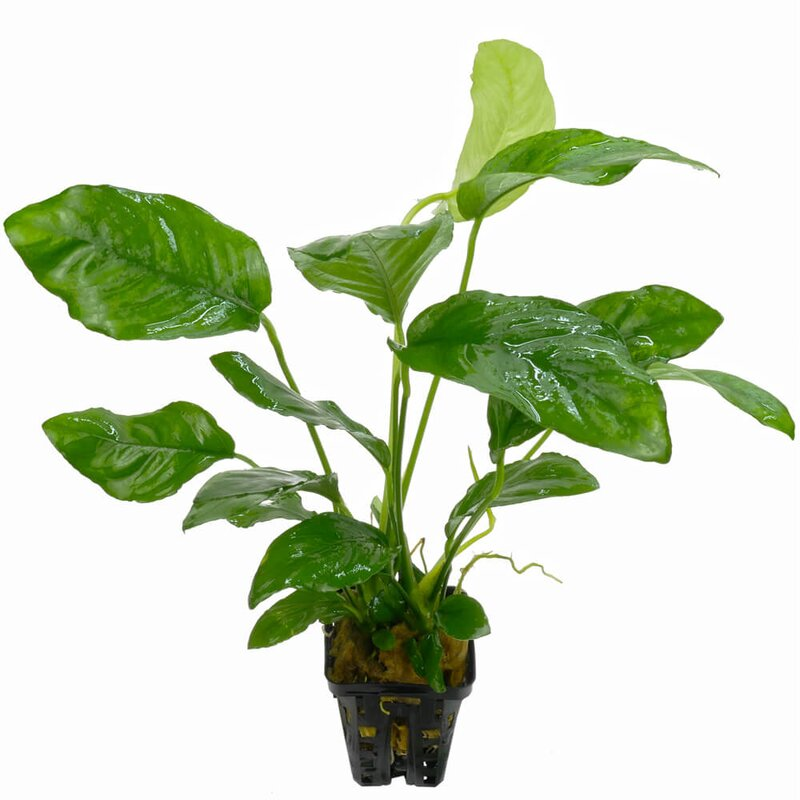 Anubias barteri species