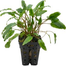 Cryptocoryne crisped leaf